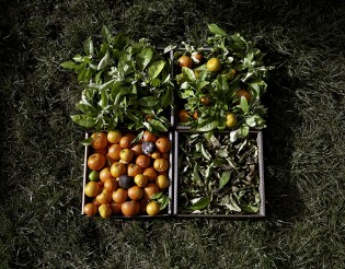 Orange Tree Blossoms, Leaves and Fruit, from the Nurturing Time collection